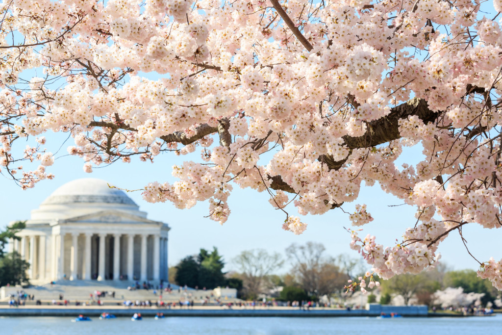 Cherry blossom festival at Thomas Jefferson Memorial in Washington DC, United States